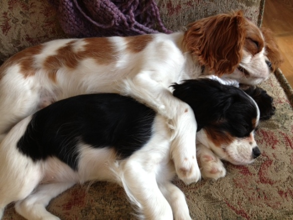 My babies cuddle sleeping - so cute!! Cavalier King Charles spaniels are the best!